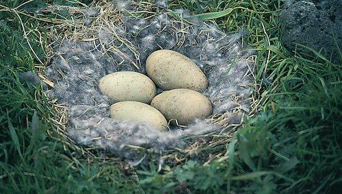 Nest van de eidereend met eieren